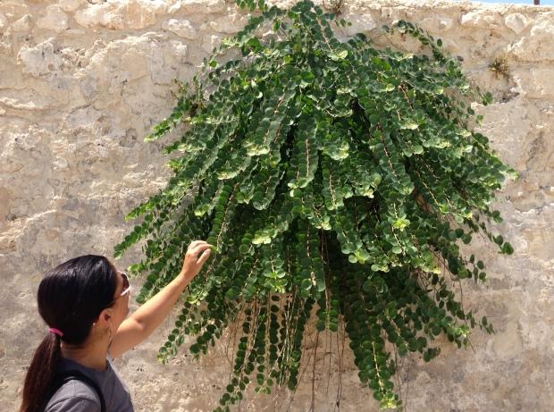 wild caper bush, Sicily (Ortigia)