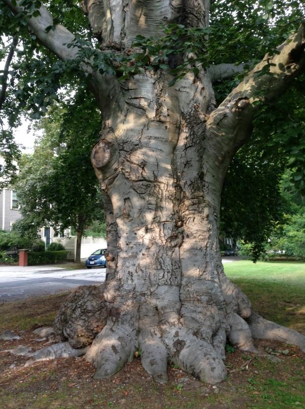 big lord tree
